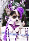 Постер, плакат: Christmas puppy chihuahua and star in paws