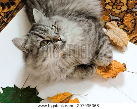 poster of Animal In The  In Summer. Beautiful Grey Cat With Yellow Eyes.cute Tabby And  Furry Cat In Park. Top