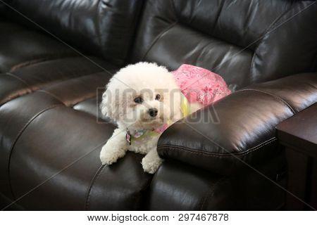 poster of Bichon Frise. Purebred Bichon Frise Dog. Small White dog. 10 lb. female bichon frise dog. Pet Portra