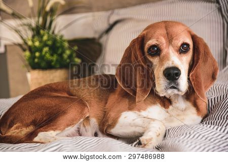 poster of Dog In Owners Bed Or Sofa. Lazy Beagle Dog Tired Sleeping Or Waking Up. Yawning With Long Tongue Out