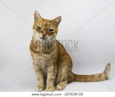 poster of Red Cat Looks Into The Camera. Images Of Cats,  Cat Eyes, Cute Cat On A White Background. Copy Space