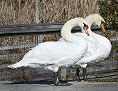 Swan Pair Take a Stroll