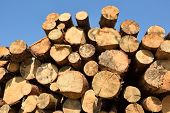 Wooden Logs. Timber Logging In Spring Forest. Freshly Cut Pine Tree Logs poster