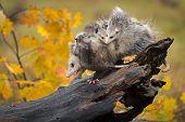Opossum (didelphimorphia) Walks Down Log With Backful Of Joeys Autumn - Captive Animals poster