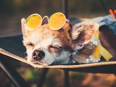 Chihuahua Wearing Sunglasses And Straw Hat Lies In A Hammock Slightly Opened Eyes Near A Beach Enjoy poster