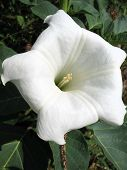 picture of datura  - Flower datura of the family Solanaceae - JPG