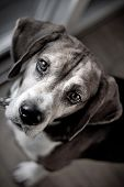 foto of droopy  - Cute beagle dog looking at the viewer with muted color - JPG