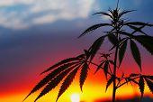 Cbd Oil Hemp Products. Medicinal Cannabis With Extract Oil. Medical Marijuana And Cannabidiol. Growi poster