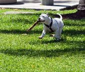 Playful Pit Bull Pup Playing Go Fetch poster