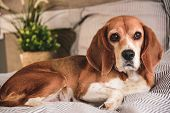 Dog In Owners Bed Or Sofa. Lazy Beagle Dog Tired Sleeping Or Waking Up. Yawning With Long Tongue Out poster