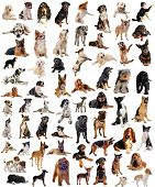 picture of belgian shepherd dogs  - composite picture with purebred dogs in a white background - JPG