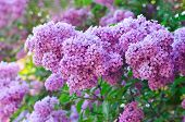 stock photo of lilac bush  - Branch of lilac flowers with the leaves - JPG