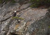 Bald Eagle On The Lookout From Small Tree At Edge Of Cliff Near Skagway - Alaska.