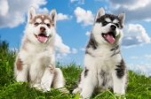 stock photo of sled-dog  - two little puppy of Siberian husky dog of one month isolated on green grass - JPG