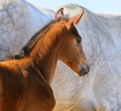 Bay foal on background of gray mare