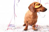 An isolated dachshund on a white background enjoying the Carnival party.