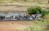 Zebras In The River