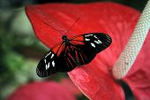 stock photo of dory  - A view of a Doris Longwing Butterfly Latin name Heliconius Doris