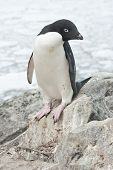 Adelie Penguin Standing On A Rock.