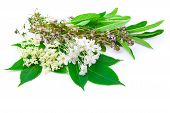 pic of elderflower  - bunch of herbs  - JPG