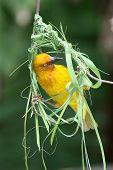 pic of bird-nest  - Cape weaver bird busy building it