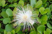Barringtonia Asiatica flor