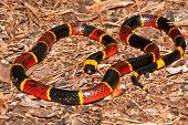 picture of venom  - An Eastern Coral Snake coiled on the forest floor in Florida - JPG