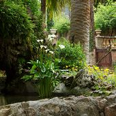 picture of arum  - Delicate white arum lilies growing in a garden rock pool with lush green trees and tropical palms with a gate and entrance visible behind - JPG
