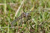 Keeled Skimmer Dragonfly