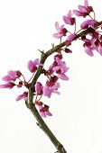 foto of judas tree  - Redbud Twig with Blossoms Isolated on White Background - JPG