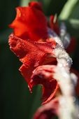 pic of gladiola  - Gladiola blossom with water drops in a macro shot - JPG