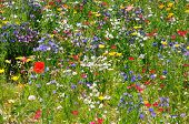 stock photo of wildflower  - Wildflower meadow in full bloom - JPG