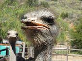 Ostrich Head (Struthio camelus)