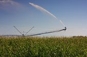 picture of zea  - Sprinkler irrigation in a maize field in lower Friuli Italy in August - JPG