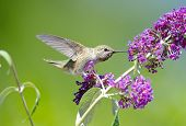 stock photo of hummingbirds  - Annas Hummingbird feeding on Butterfly Bush Flowers - JPG