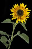 Single blooming sunflower on black background