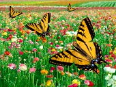 Eastern Tiger Swallowtail Butterfly ~ Flying In Multi Colored Ranunculus Flower Fields
