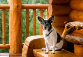 Jack Russel Terrier Relaxing At Log Cabin In The Mountains