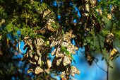 picture of monarch  - Monarch Butterfly colony in Mexico - JPG