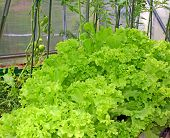 Corrugated Lettuce Growing In A Greenhouse