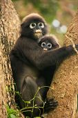 Spectacled Langur Sitting In A Tree With A Baby, Ang Thong National Marine Park, Thailand