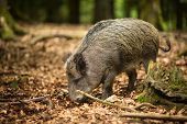 stock photo of beechnut  - Wild boar  - JPG