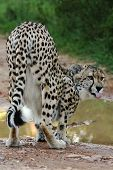 Cheetah Wild Cat Drinking