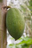 picture of papaya  - Carica papaya Linn - JPG