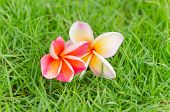 Pink Frangipani Flower Fall On The Grass