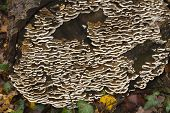 Coriolus Versicolor, Many-zoned Polypore, Uk Fungus. Close Up.
