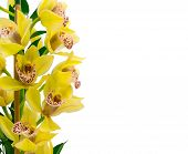 picture of orquidea  - Flower of yellow orchid isolated on white background - JPG