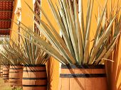 Agave Americana ( Tequila Ingredient )
