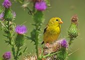 foto of goldfinches  - A female American goldfinch - JPG