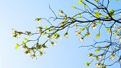 Branches of dogwood (Cornus florida) and blue sky
